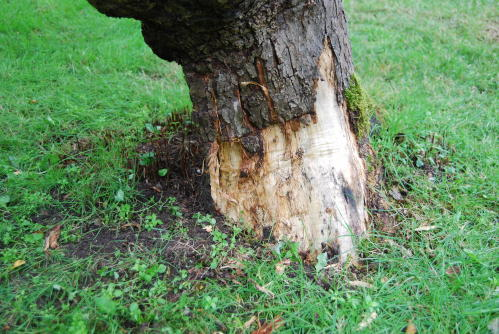 An Old Apple Tree Losing Bark
