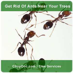 How to get rid of carpenter ants in a tree?