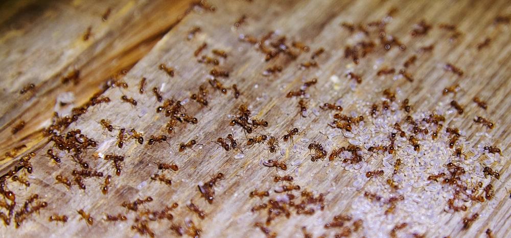 Tree Ants