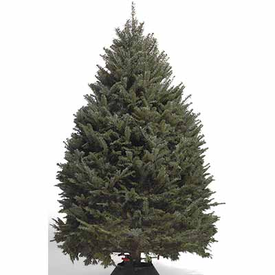 Real Christmas Tree Guide Chop Doc Tree Services