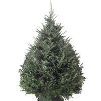Fraser Green Tree